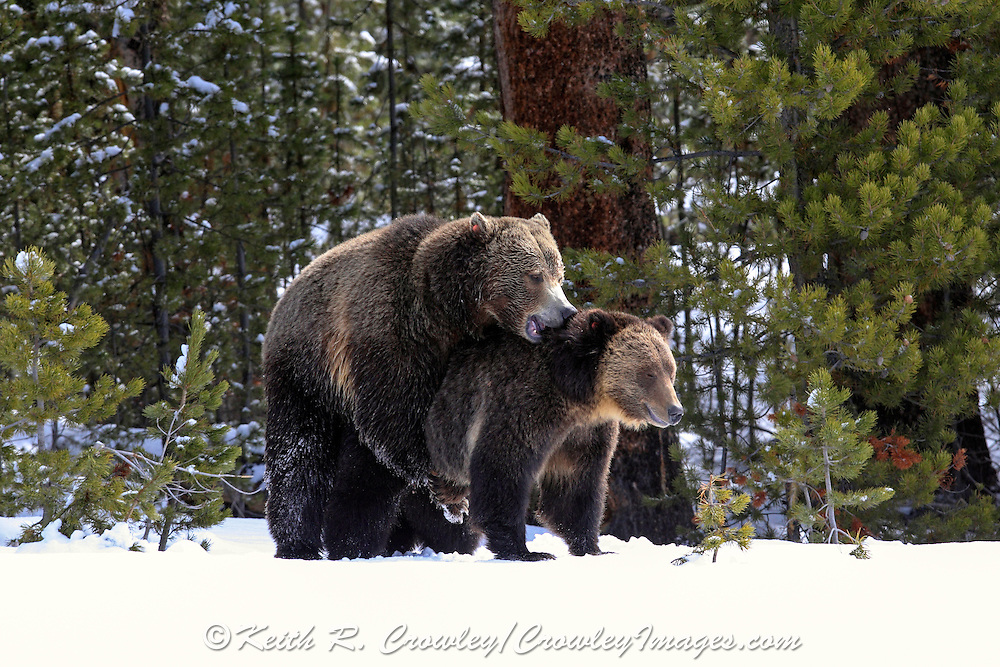 Wild Grizzly Bears Mate in Habitat