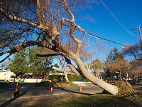 Fallen Tree on Power Line - 2011 Pasadena Wind Storm Damage -  Pasadena, California