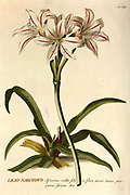 Coloured Copperplate engraving of a Lilio-Narcissus (Indian Lily-Daffodil) from hortus nitidissimus by Christoph Jakob Trew (Nuremberg 1750-1792)