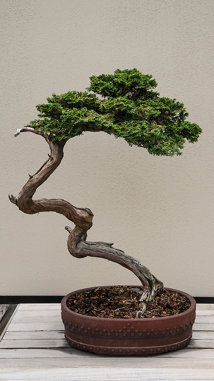 This Hinoki False Cypress is part of Longwood Gardens' prestigious collection of bonsai trees.