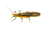 Stonefly (Neoperla clymene)<br /> United States: Alabama: Tuscaloosa Co.<br /> Tulip Tree Springs off Echola Rd.; Elrod<br /> 8-Jun-2016<br /> J.C. Abbott #2828 &amp; K.K. Abbott