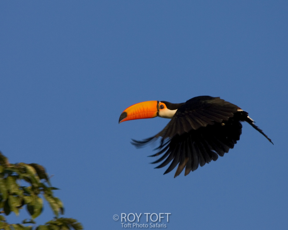 Toco Toucan (Ramphastos toco) in flight with wings extended.