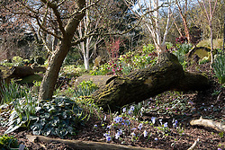 The dell bed in John Massey's garden in spring. Hepatica x media 'Harvington Beauty' in the foreground, hellebores and silver birch beyond. Betula utilis var. jacquemontii