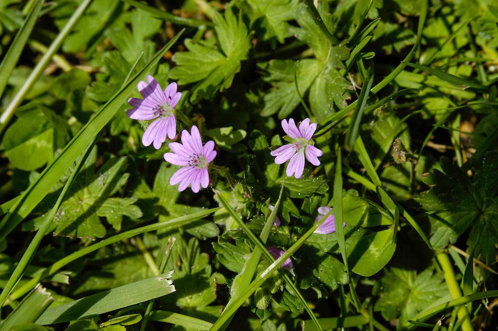 Bermooievaarsbek, Geranium pyrenaicum