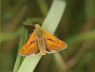 Large Skipper Ochlodes venatus Wingspan 34mm. Colourful little butterfly that typically holds its wings angled in a moth-like manner. Adult has dark brown upperwings with pale markings. Underwings are buffish orange with paler spots. Flies June–July. Larva is nocturnal and feeds on various grasses. Common and widespread in England and Wales in a wide range of grassy habitats.