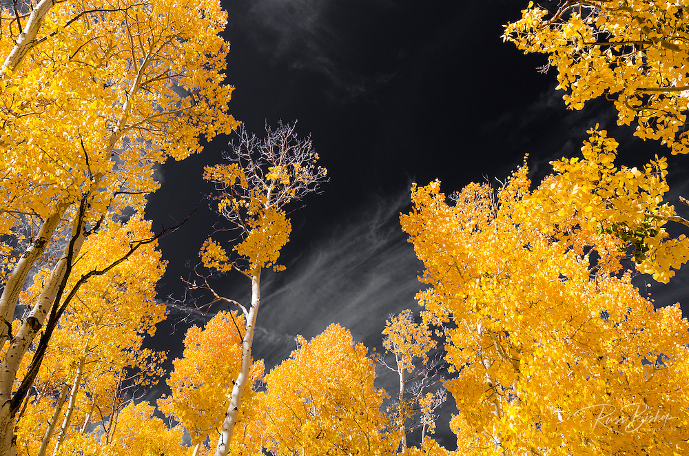 Fall aspen near Virginia Lakes, Humboldt-Toiyabe National Forest, California USA