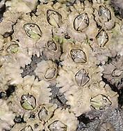 Acorn Barnacle - Semibalanus balanoides
