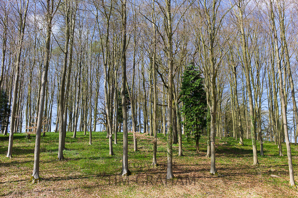 Copse of young beech trees, Fagus sylvatica, and conifers in springtime in Swinbrook in the Cotswolds, Oxfordshire, UK