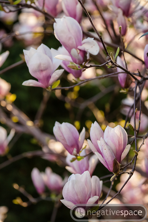 Blooming flowers on a magnolia tree, Arlington, Virginia