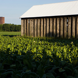 A tobacco field in Hadley, Massachusetts.  Tobacco barn.  University of Massachusetts is in the distance.