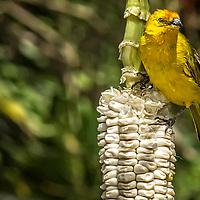 A saffron Finch sitting on an ear of white corn.