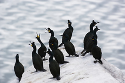 Common Shag (Phalacrocorax aristotelis) in Røst, Norway