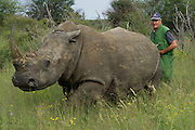 White Rhinoceros (Ceratotherium simum) darted for relocation. Conservation Solutions Kester Vickery moving the sedated animal nearer the road<br /> Private Game Reserve<br /> SOUTH AFRICA<br /> RANGE: Southern &amp; East Africa<br /> ENDANGERED SPECIES