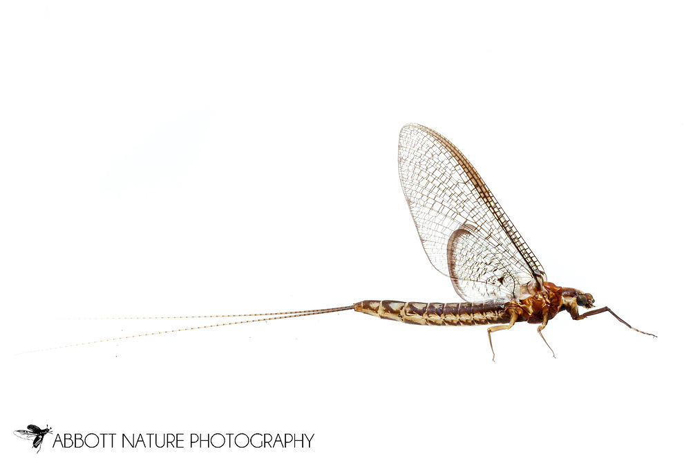 Burrowing Mayfly (Hexagenia bilineata) - female imago<br /> TEXAS: Jasper Co.<br /> Brookeland/Lake Sam Rayburn @ 505 Co Rd 212<br /> 20.July.2015<br /> J.C. Abbott #2768 &amp; K.K. Abbott