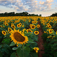 Acres of sunflowers (Helianthus annuus), planted to attract game bird species, underneath a sunrise sky, McKee-Beshers Wildlife Management Area, Poolesville, Maryland.