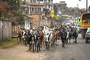 Trasferimento di bovini nelle vie di città