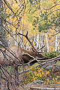 Close-up of elk in autumn habitat