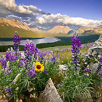 lupine, grow wild in the the rocks along the Two Medicine Valley, GNP, Rising Wolf Mtn in the background