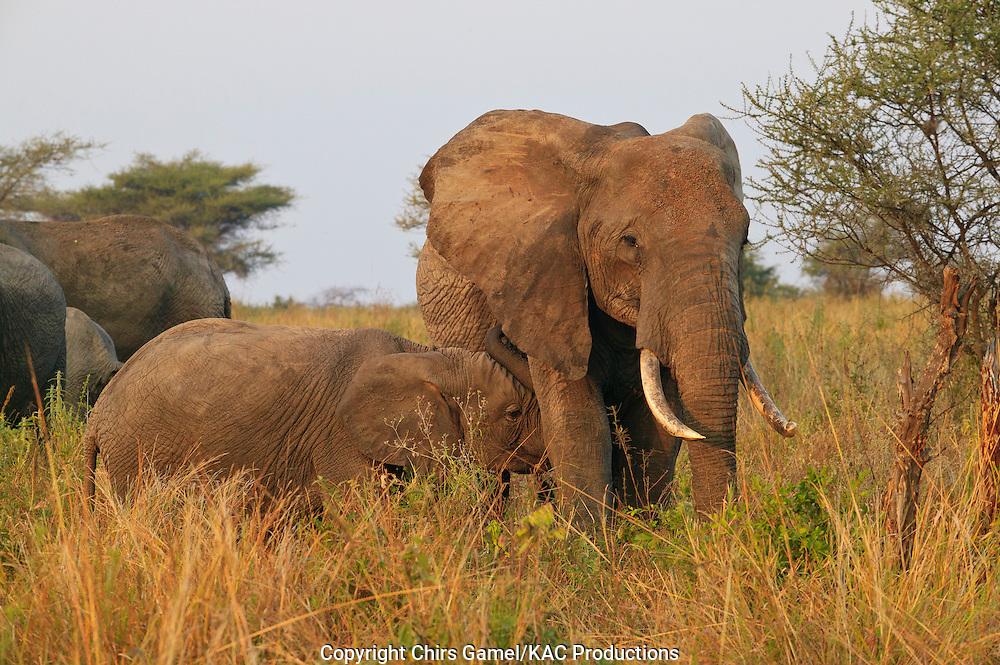 Elephant calf nursing with mother.