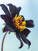 Dahlia 'Dark Desire' - single-flowered dahlia