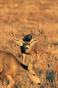 Non-typical trophy Mule deer buck in grassland habitat