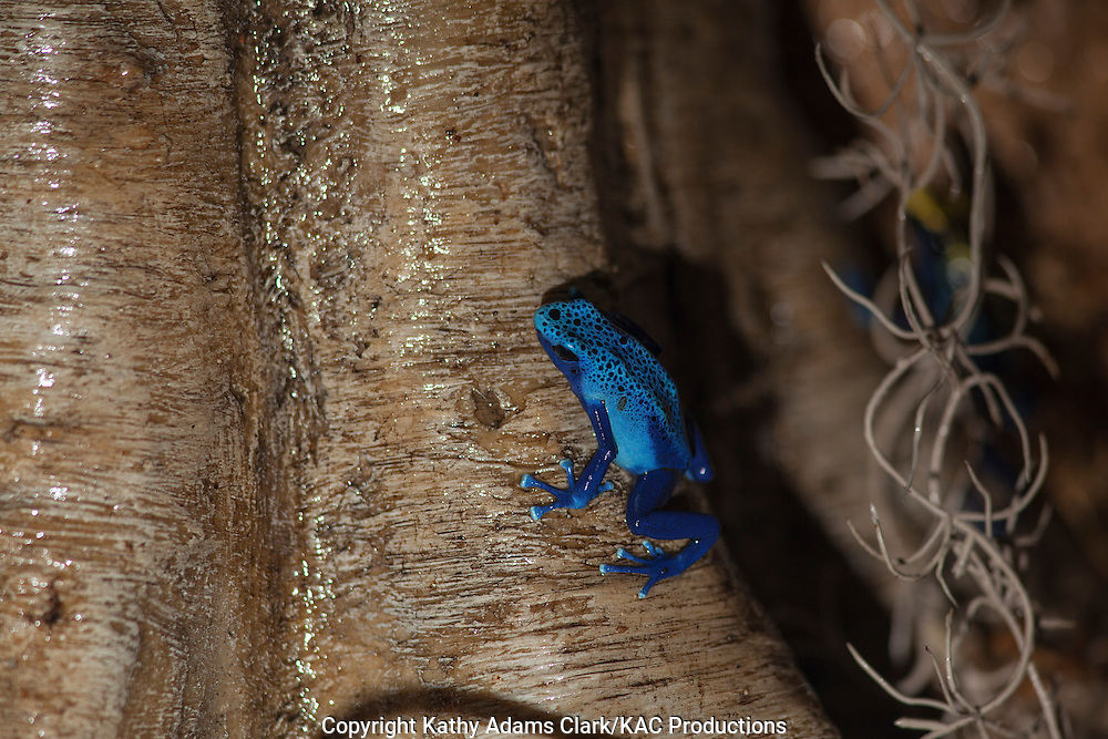 "Dyeing Dart Frog in azure form, blue poison dart frog, blue poison arrow frog, Dendrobates tinctorius ""azureus"", poison dart frog, found in Suriname, Photographed at Moody Gardens, Galveston, Texas"