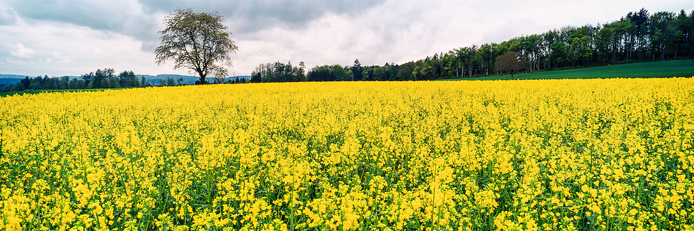 Rapeseed field in the canton of Vaud, Switzerland