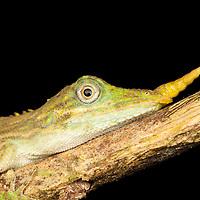 Harpesaurus brooksi est une espèce extrèmement rare, elle n'a été observée que seulement 4 fois