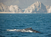 Gray Whales, adult and calf, off the peninsula of  Baja California Sur coast, near Divorce Beach and stone Land's End Arch, Cabo San Lucas, Mexico on March 13, 2007.(Photo/Lance Cheung) ..PHOTO COPYRIGHT 2007 LANCE CHEUNG.This photograph is NOT within the public domain..This photograph is not to be downloaded, stored, manipulated, printed or distributed with out the written permission from the photographer. .This photograph is protected under domestic and international laws.