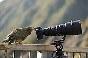 Kea (Nestor notabilis) Arthur's Pass, New Zealand | Kea oder Bergpapagei (Nestor notabilis) - Keas sind sehr neugierig, sie versuchen alles ihnen Unbekannte zu erforschen. Diese Eigenschaft nennt man Neophile. Im Gegensatz zu allen anderen Vögeln behält der Kea diese Eigenschaft sein ganzes Leben. Arthur's Pass, Neuseeländische Alpen, Neuseeland.