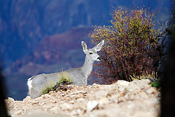 OCT 6, 2016: A deer makes its way up the canyon edge. in Arizona, Richey Miller/CSM(Credit Image: © Richey Miller/Cal Sport Media)