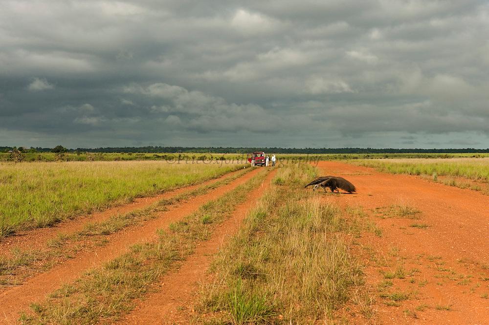 Giant Anteater (Myrmecophaga tridactyla) & Tourists<br /> Savannah<br /> Rupununi<br /> GUYANA. South America<br /> RANGE: Central and South America