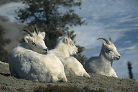 Dall Sheep on the mountainside in Canada's Yukon