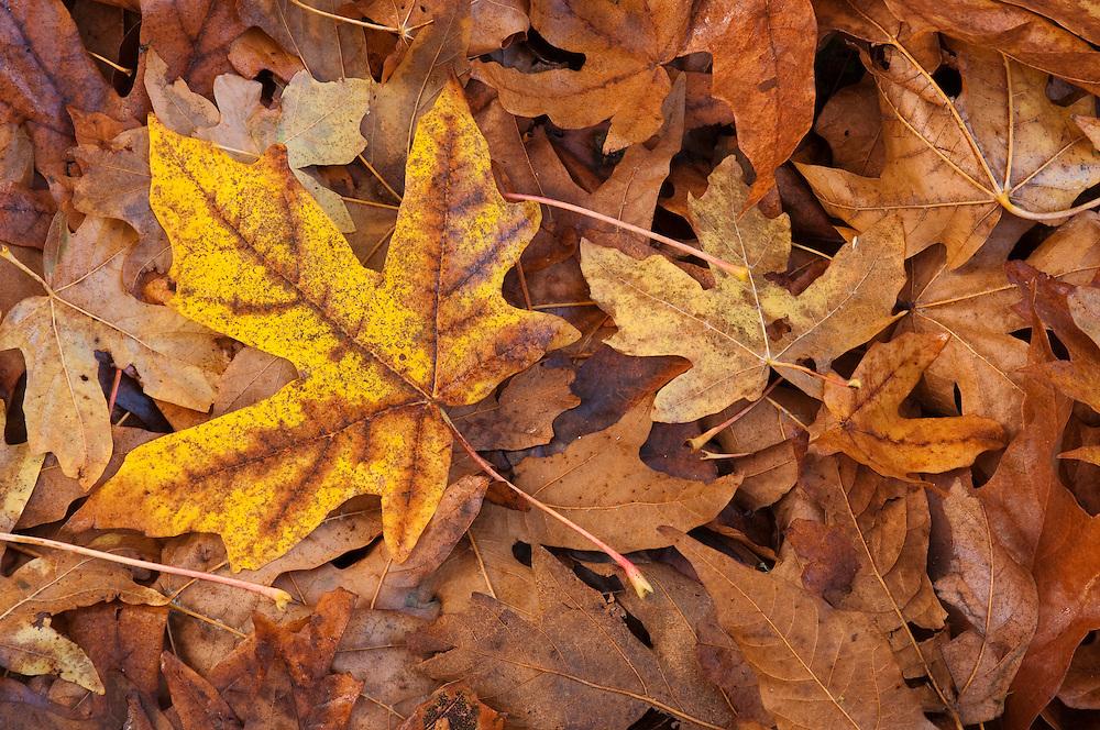 Bigleaf maple tree leaves on forest floor in Autumn; Nisqually National Wildlife Refuge, Washington.