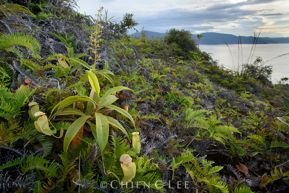 This pitcher plant (Nepenthes neoguineensis) is endemic to New Guinea where it can be found on lateritic soils near the coast. Papua, Indonesia.