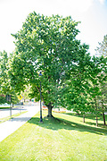college green, Mapp Athens, summer, Tree Tour, October Glory Red Maple