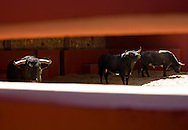 Bulls waiting in the pen before the evening bullfight at the Plaza de Toros in Morelia, Mexico.