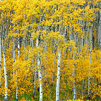 aspens trees in glacier national park fall colors