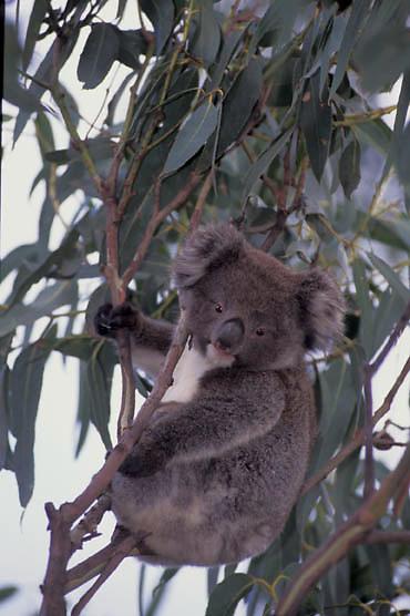 Koala, (Phascolarctos cinereus) Australia.  Captive Animal.