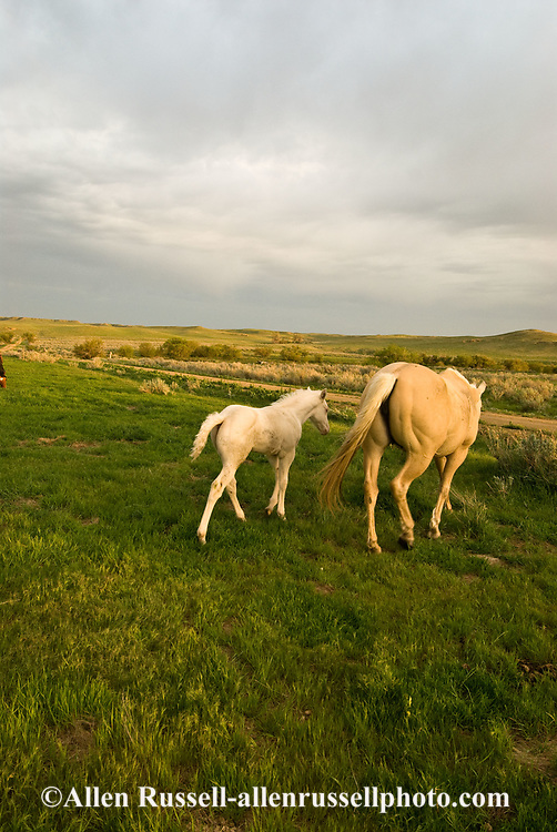 Quarter Horses, Palamino mare and Cremello foal
