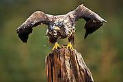 Havørn på stubbe, klar til å lette   White-tailed Eagle on tree-stump, ready for takeof.