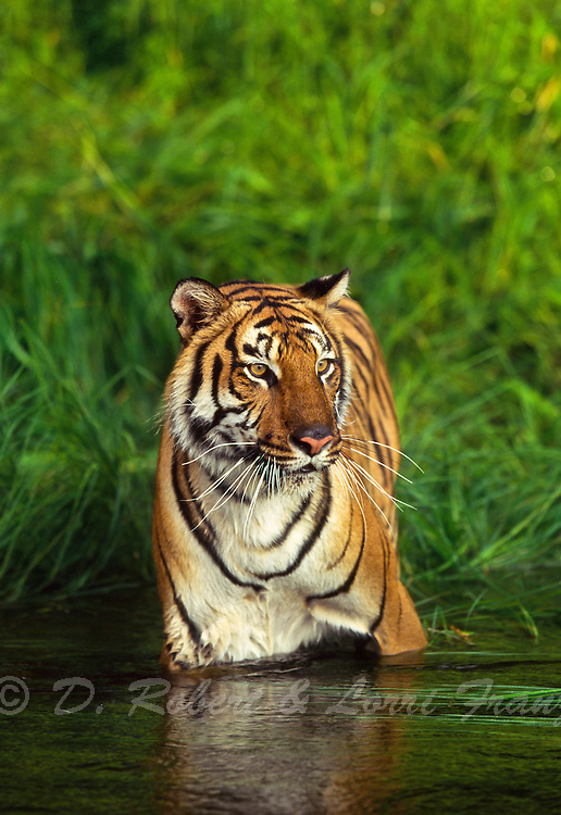 Bengal tiger in river (captive)