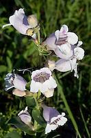 Foxglove, (Penstemon cobaea), Baxar County, Texas