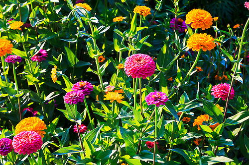 Brightly Colored Zinnia Flowers In A Garden. WATERMARKS WILL NOT APPEAR ON  PRINTS OR LICENSED.