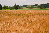 A golden, ripening wheat field against a background of green fields and hills.