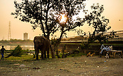 1st May 2014, Yamuna River, New Delhi, India. A mahout throws a bundle of grass towards a tethered elephant in the late afternoon while another relaxes on a bench near a bridge over the Yamuna River, New Delhi, India on the 1st May 2014<br />