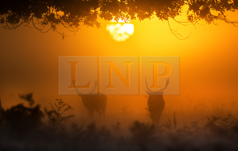 © Licensed to London News Pictures. 03/10/2019. London, UK. Deer feed as the sun rises over a misty Bushy Park in south west London. A cold clear day is expected in parts of the UK today. Photo credit: Peter Macdiarmid/LNP
