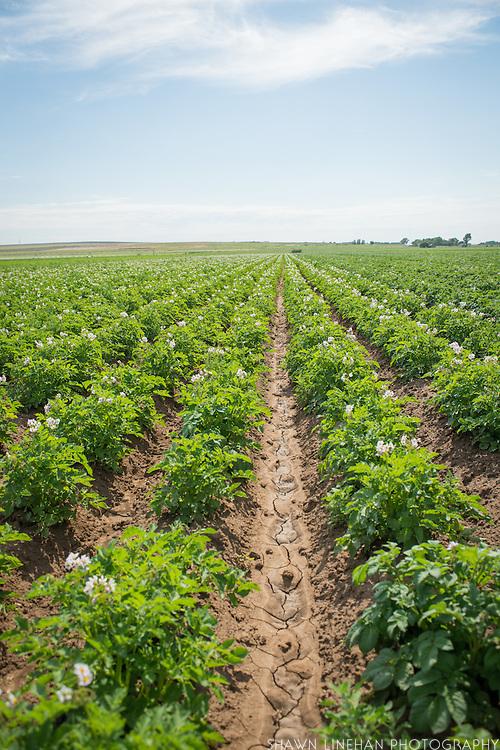 Mike Heath, Organic Potato Farmer near Twin Falls, Idaho.