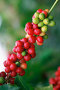 Kona Coffee, Island Of Hawaii, Hawaii, USA<br />