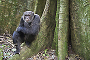 Chimpanzee<br /> Pan troglodytes<br /> Male sitting on buttress of tree<br /> Tropical forest, Western Uganda